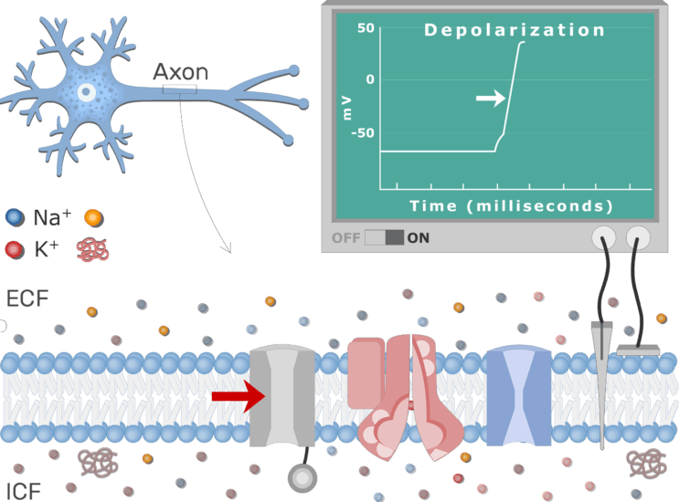 An image showing Na channels closing due to inactivation and Na+ influx stops , the neuron axon membrane is enlarged and contains different channels