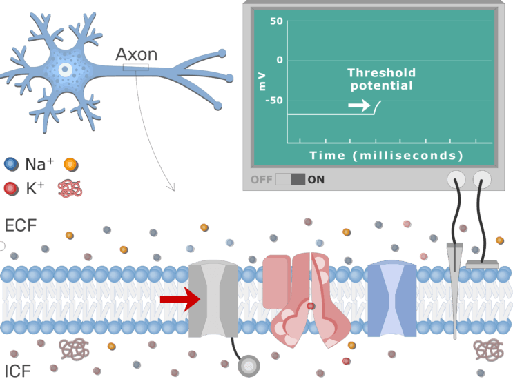 An image showing Na voltage-gated channel opening at the threshold, the neuron axon membrane is enlarged and contains different channels