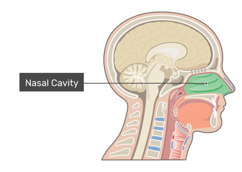 Sagittal view of the nasal cavity the nose and the nasal cavity