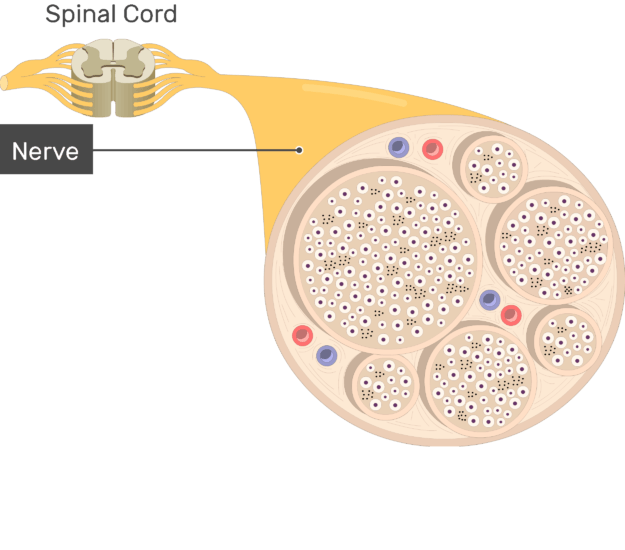 An image showing the nerve basic anatomical structures of the nerve, the nerve is labeled