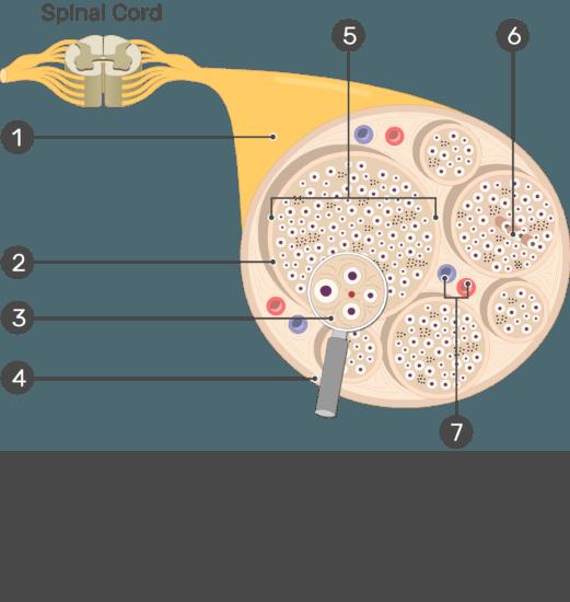Nerve Structure Anatomy