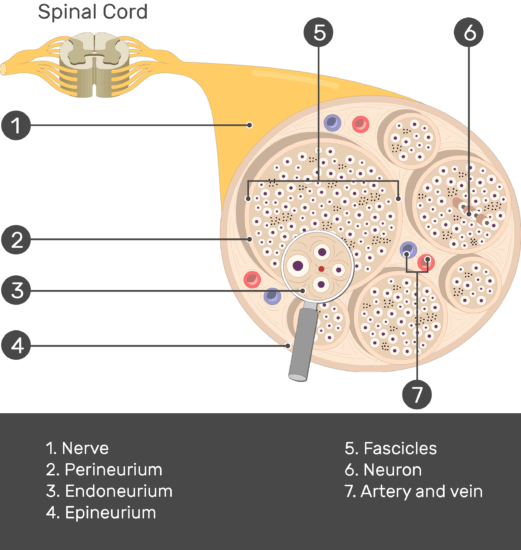 An image showing the nerve basic anatomical structures of the Artery and vein, Epineurium, Endoneurium, Perineurium, Fascicles, nerve, the Neuron and nerve are numbered with answers below