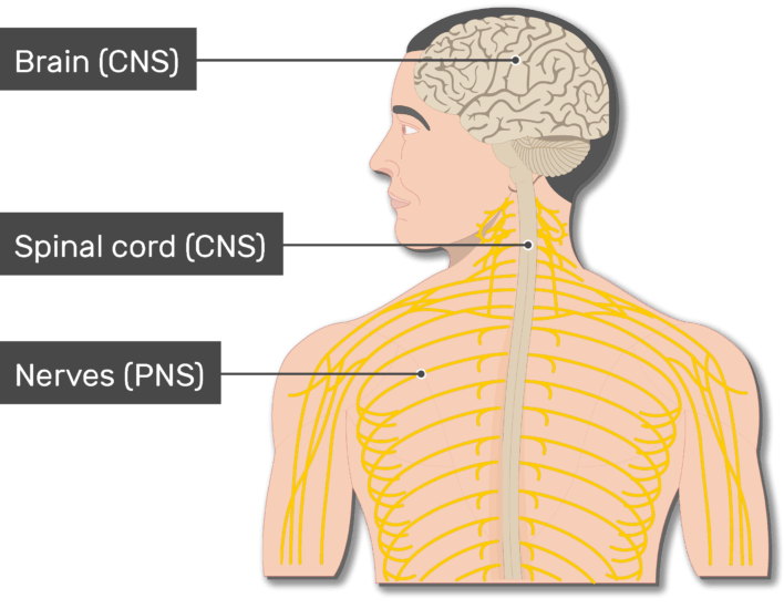 An image of the body showing the Nerves (PNS), Spinal cord, Brain, head and the back of a smiley man, the Nerves (PNS), Spinal cord and the brain are labeled