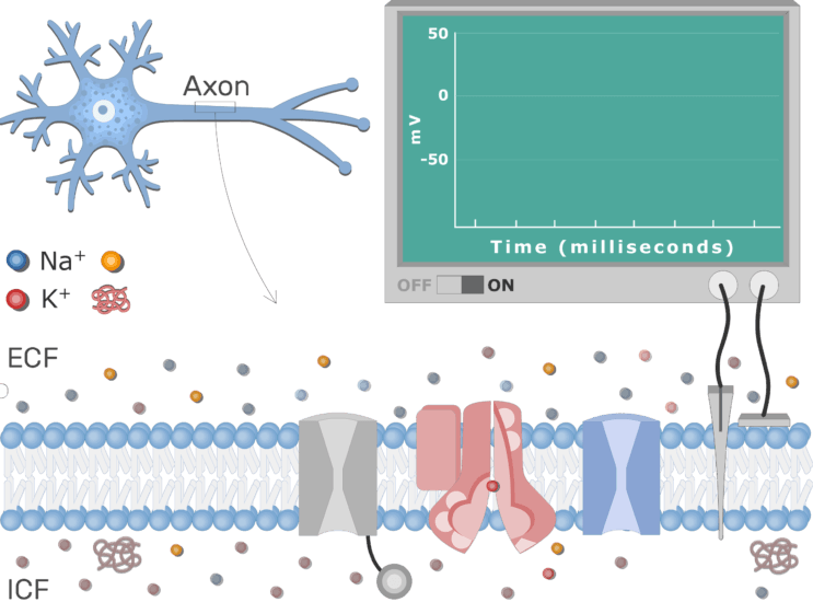 An image showing the Neuron Action Potential Sequence of Events, the neuron axon membrane is enlarged and contains different channels