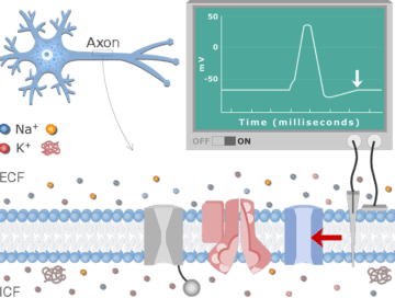 Neuron Action Potential Sequence of Events - Featured