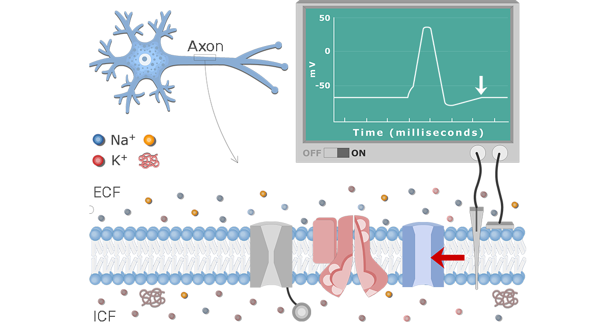 Neuron    Action Potential Sequence of Events