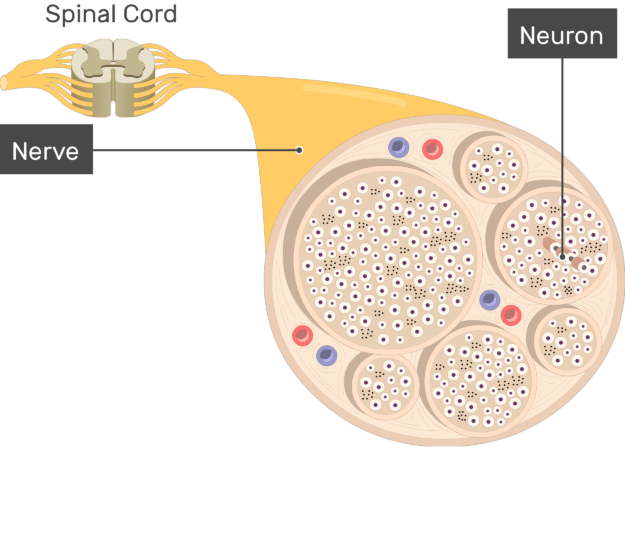 An image showing the nerve basic anatomical structures of the nerve, the Neuron and nerve are labeled