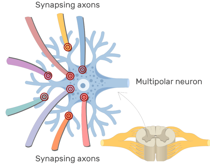Multipolar Neurons Structure And Functions