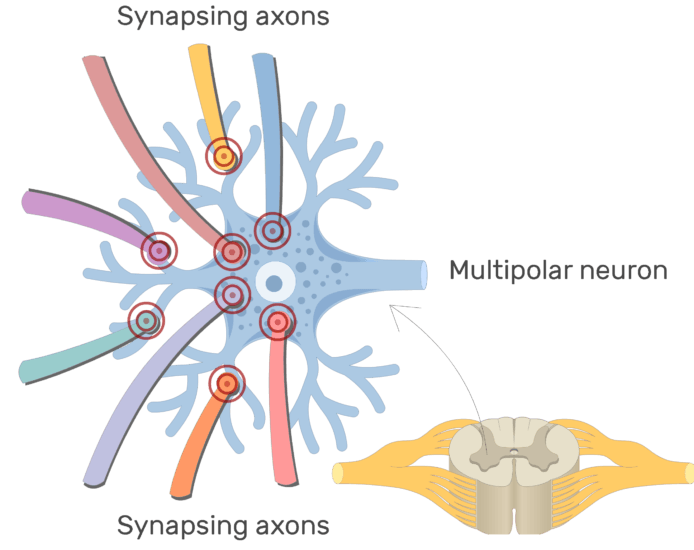 An image showing the stimulation process of the synapsing axons on the dendrites of a multipolar neuron, with labeles for synapsing axons and multipolar neuron