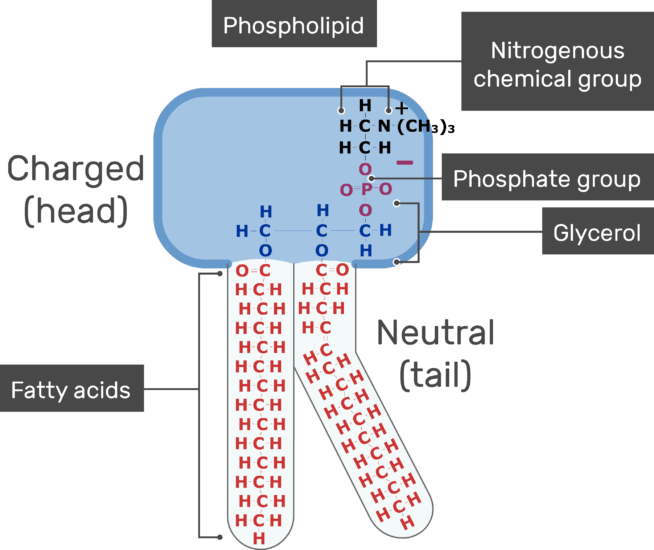 An image showing the Neutral tail, head positive charge, Nitrogenous chemical group, Phosphate group, Fatty acids of the tail and Glycerol of bilayer phospholipid of the cell membrane