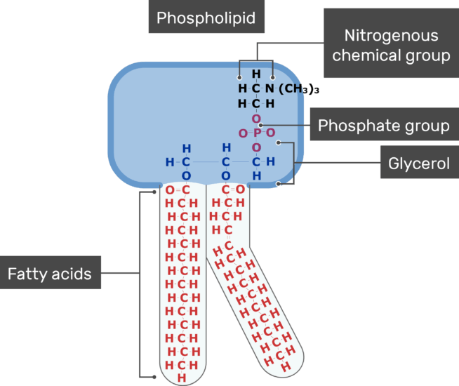An image showing the Nitrogenous chemical group, Phosphate group, Fatty acids of the tail and Glycerol of bilayer phospholipid of the cell membrane
