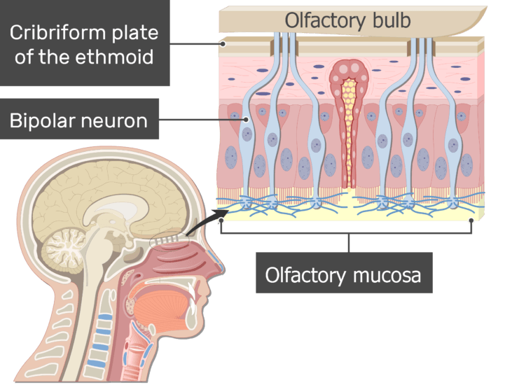 An image showing the bipolar neurons inside the mucosa of the nasal cavity, the olfactory mucosa, cribriform plate and bipolar neurons are labeled