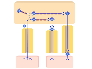 Organization of the Autonomic System - Featured