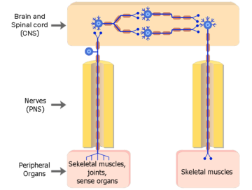 Organization of the Somatic Nervous System - Featured