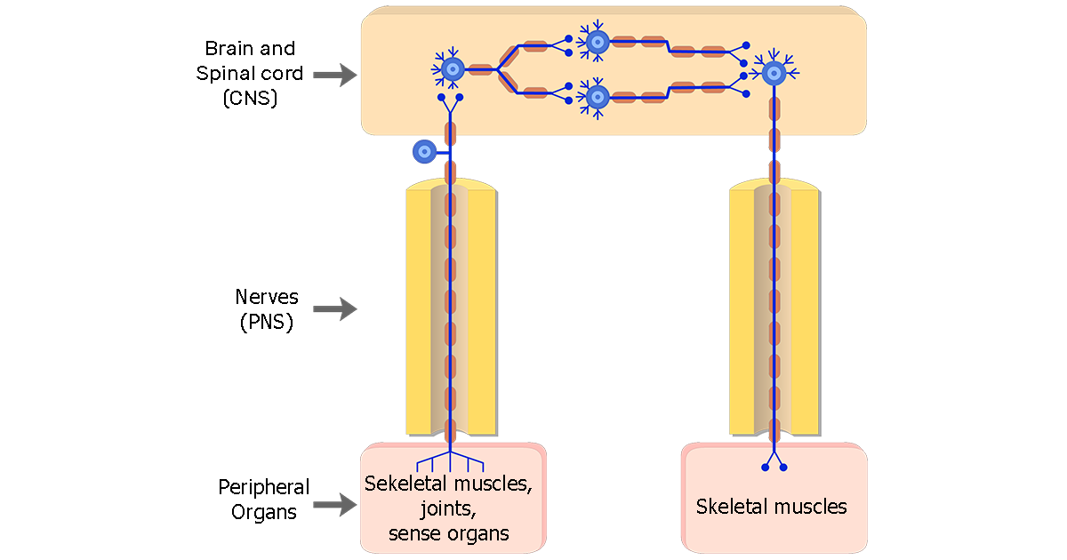 Organization of the Somatic Nervous System