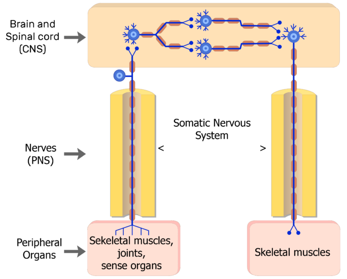 An image showing 3 types of neurons in the Somatic nervous system (Sensory neuron, motor neuron, and interneuron)