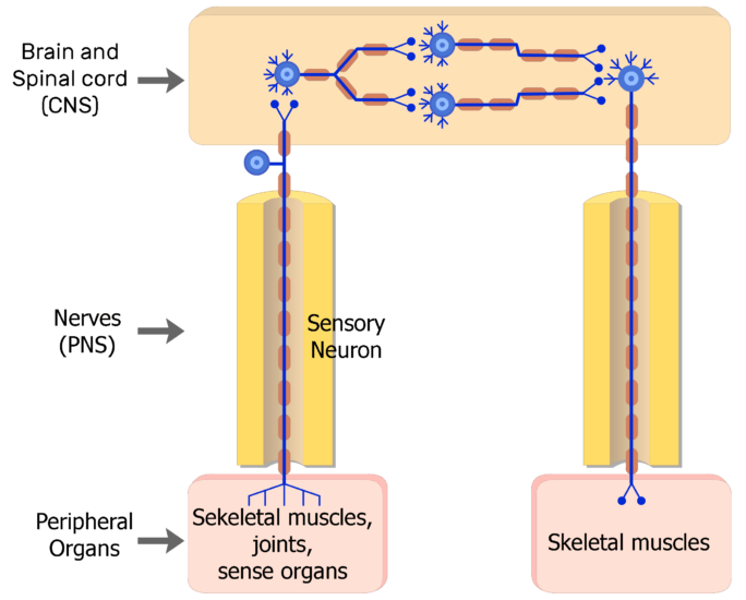 An image showing the action potential moving through the Somatic nervous system, from the receptors to the interneuron inside the CNS