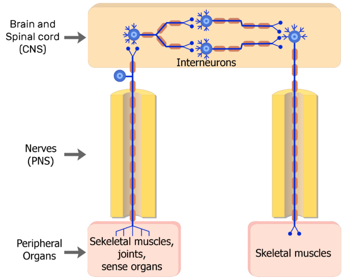 An image showing the action potential moving through the Somatic nervous system, from the interneuron to the motor neuron through the CNS