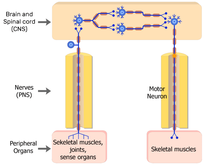 An image showing the action potential moving through the Somatic nervous system, from the CNS to the skeletal receptors through motor neuron