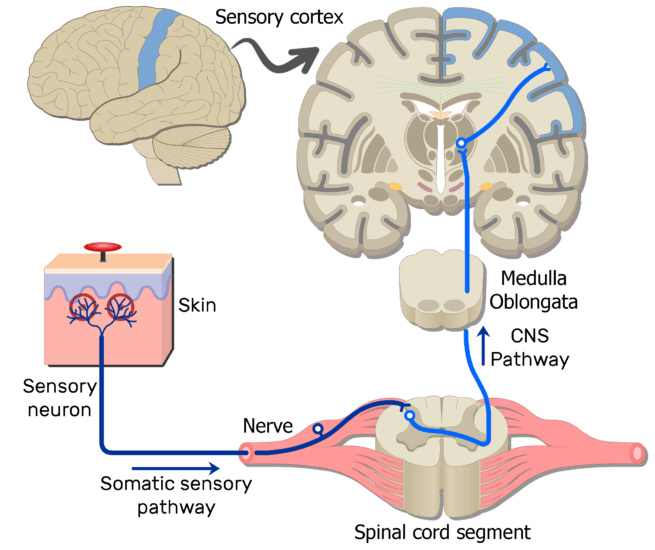 Pain Pathway moreover Epanchement Pleural additionally Human Organ Systems Diagram Human Organ Systems Diagram Human Anatomy Diagram 4 together with External Picturelabeled together with Brain Regions Diagram Brain And The Cranial Nerves 2. on skeletal circulatory system