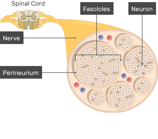 An image showing the nerve basic anatomical structures of the Perineurium, Fascicles, nerve, the Neuron and nerve are labeled