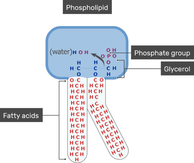 An image showing the Phosphate group, Fatty acids of the tail and Glycerol of bilayer phospholipid of the cell membrane