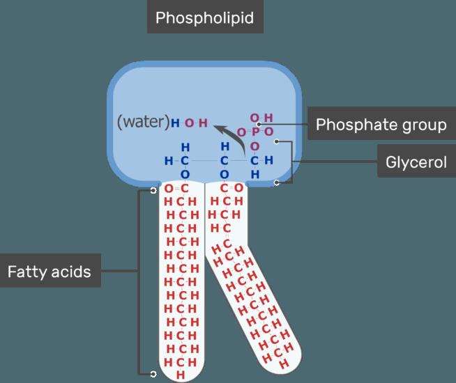Cell Membrane Lipid Bilayer