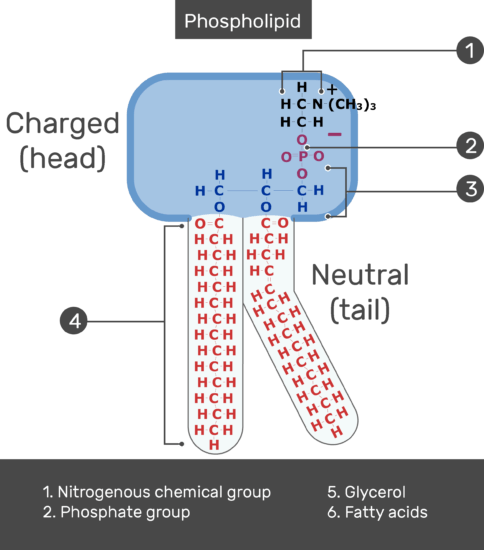 Test yourself image showing the Neutral tail, head positive charge, Nitrogenous chemical group, Phosphate group, Fatty acids of the tail and Glycerol of bilayer phospholipid of the cell membrane,, all labeled with answers below