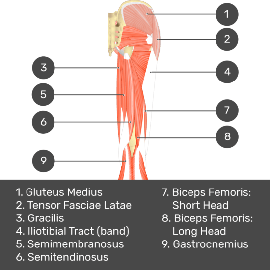 Test yourself image 4, posterior view of thigh and gluteal region, lateral rotators of the thigh visible. Muscles and structures labelled- gluteus medius, tensor fasciae latae, gracilis, iliotibial tract (band), semimembranosus, semitendinosus, biceps femoris: short head, biceps femoris: long head, gastrocnemius.