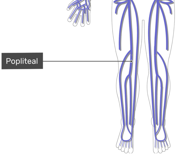 Labelled image of the popliteal vein with the skeleton off.