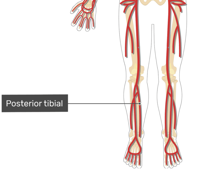 Labelled image of the posterior tibial artery of the leg.