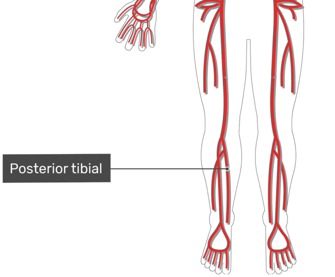 Labelled image of the posterior tibial artery of the leg with the skeleton hidden.