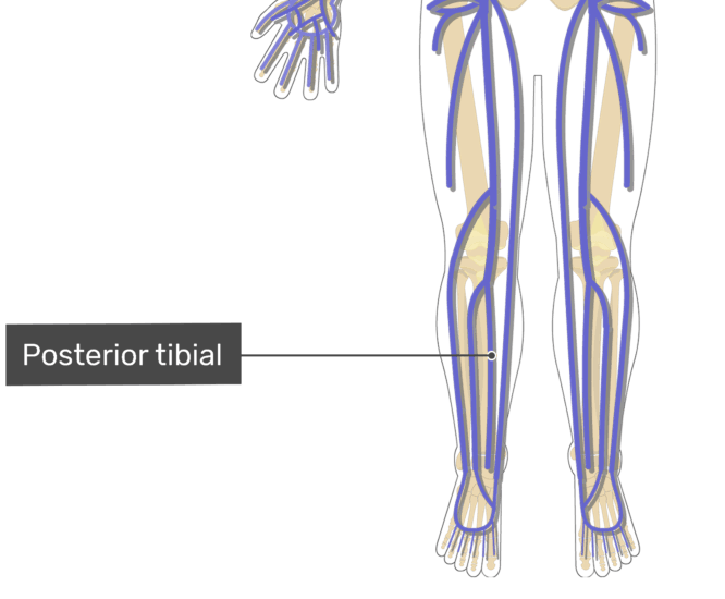 Labelled image of the posterior tibial vein.