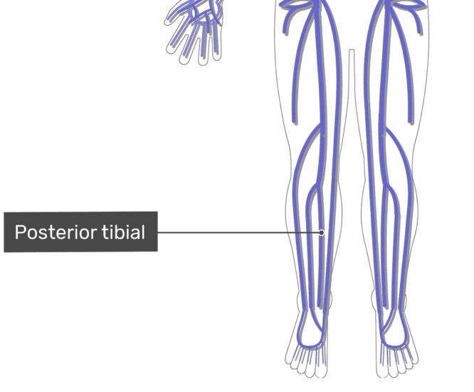 labelled image of the posterior tibial vein with the skeleton off