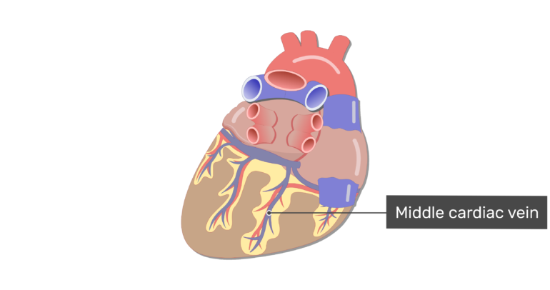 Posterior view of the middle cardiac vein