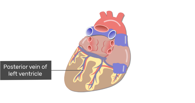Posterior view of the posterior vein of the ventricle.