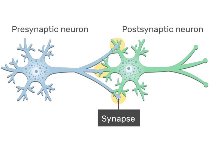 An image showing the synapse between 2 neurons (presynaptic and postsynaptic neurons) showing the basic structures, presynaptic and postsynaptic neurons and the synapse are labeled