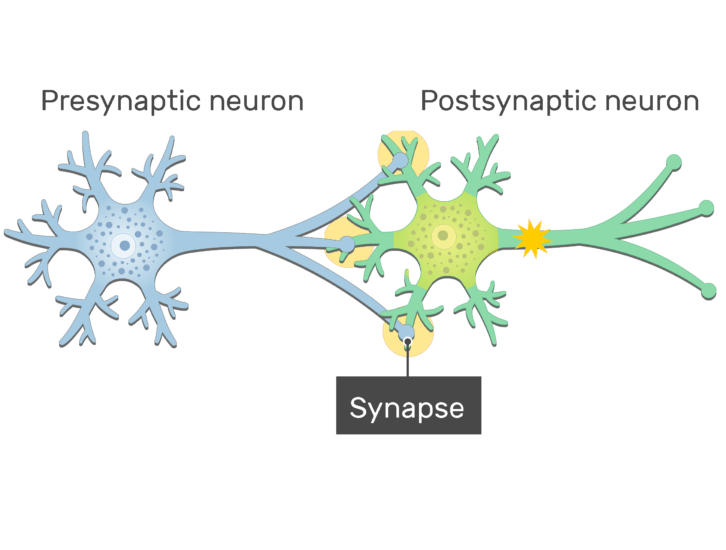 An image of a synapse between 2 neurons showing the response of the postsynaptic neuron after the action potential reached the synapse