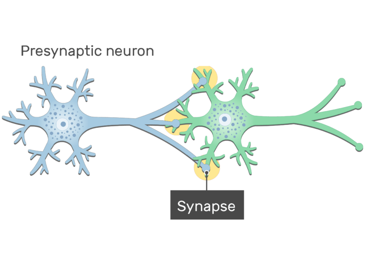 An image showing the synapse between 2 neurons (presynaptic and postsynaptic neurons) showing the basic structures, presynaptic neuron and the synapse are labeled