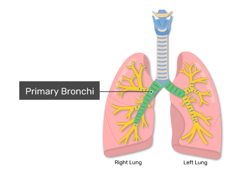 The primary bronchi labeled