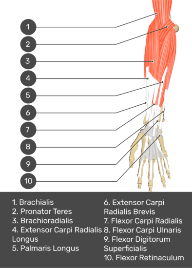 A test yourself image of the anterior view of the forearm showing the bony elements and the deeper muscles. The visible structures of the forearm are numbered 1-10. The answers in the box below are as follows 1. Brachialis 2. Pronator Teres 3. Brachioradialis 4. Extensor Carpi Radialis Longus 5. Palmaris Longus 6. Extensor Carpi Radialis Brevis 7. Flexor Carpi Radialis 8. Flexor Carpi Ulnaris 9. Flexor Digitorum Superficialis 10. Flexor Retinaculum.