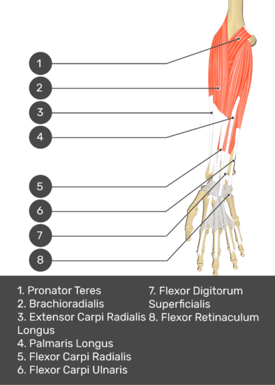 A test yourself image of the anterior view of the forearm showing the bony elements and the deeper muscles. The visible structures of the forearm are numbered 1-8. The answers in the box below are as follows: 1. Pronator Teres 2. Brachioradialis 3. Extensor Carpi Radialis Longus 4. Palmaris Longus 5. Flexor Carpi Radialis 6. Flexor Carpi Ulnaris 7. Flexor Digitorum Superficialis 8. Flexor Retinaculum.