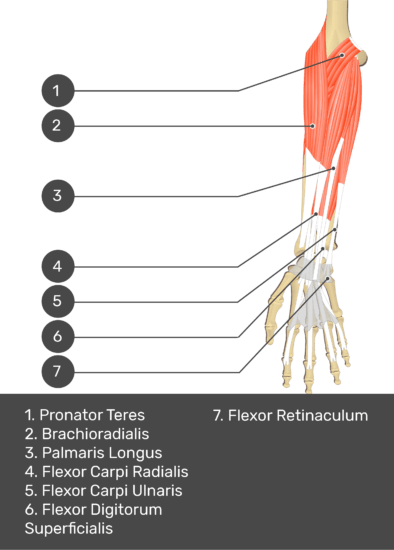 A test yourself image of the anterior view of the forearm showing the bony elements and the deeper muscles. The visible structures of the forearm are numbered 1-7. The answers in the box below are as follows 1. Pronator Teres 2. Brachioradialis 3. Palmaris Longus 4. Flexor Carpi Radialis 5. Flexor Carpi Ulnaris 6. Flexor Digitorum Superficialis 7. Flexor Retinaculum.