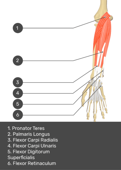 A test yourself image of the anterior view of the forearm showing the bony elements and the deeper muscles. The visible structures of the forearm are numbered 1-6. The answers in the box below are as follows 1. Pronator Teres 2. Palmaris Longus 3. Flexor Carpi Radialis 4. Flexor Carpi Ulnaris 5. Flexor Digitorum Superficialis 6. Flexor Retinaculum.