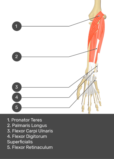 A test yourself image of the anterior view of the forearm showing the bony elements and the deeper muscles. The visible structures of the forearm are numbered 1-5. The answers in the box below are as follows 1. Pronator Teres 2. Palmaris Longus 3. Flexor Carpi Ulnaris 4. Flexor Digitorum Superficialis 5. Flexor Retinaculum.
