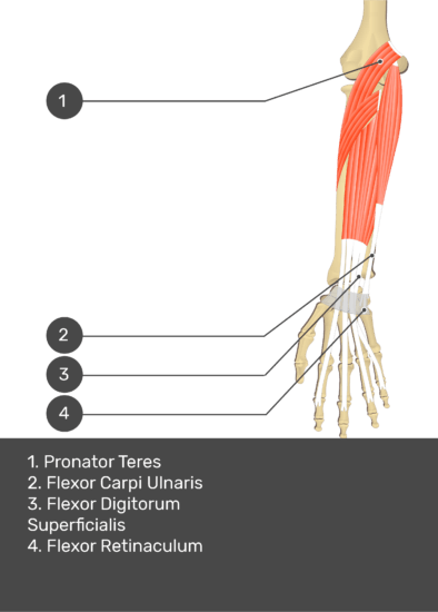 A test yourself image of the anterior view of the forearm showing the bony elements and the deeper muscles. The visible structures of the forearm are numbered 1-4. The answers in the box below are as follows 1. Pronator Teres 2. Flexor Carpi Ulnaris 3. Flexor Digitorum Superficialis 4. Flexor Retinaculum.