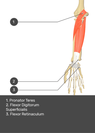A test yourself image of the anterior view of the forearm showing the bony elements and the deeper muscles. The visible structures of the forearm are numbered 1-3. The answers in the box below are as follows 1. Pronator Teres 2. Flexor Digitorum Superficialis 3. Flexor Retinaculum.