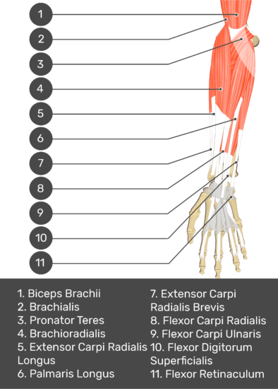 A test yourself image of the anterior view of the forearm showing the bony elements and the deeper muscles. The visible structures of the forearm are numbered 1-11. The answers in the box below are as follows 1. Biceps Brachii 2. Brachialis 3. Pronator Teres 4. Brachioradialis 5. Extensor Carpi Radialis Longus 6. Palmaris Longus 7. Extensor Carpi Radialis Brevis 8. Flexor Carpi Radialis 9. Flexor Carpi Ulnaris 10. Flexor Digitorum Superficialis 11. Flexor Retinaculum.