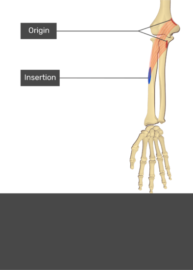 A test yourself image of the anterior view of the forearm showing the bony elements and the attachment of the Pronator Teres muscle. Origin of the humeral head at the medial epicondyle of the humerus and the distal supracondylar ridge and of the ulnar head at the medial side of coronoid process of ulna are marked by red ovals. The insertion at the middle of lateral surface of the radius is marked by a blue oval. Transparent Pronator Teres muscle connects the two attachment sites.