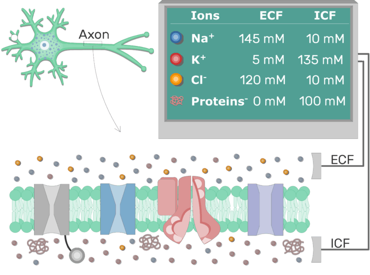 An image showing the Proteins(ICF), K(ICF), Cl (ECF), Na (ECF) and other ions distribution of ions between extracellular and intracellular fluid in resting axons